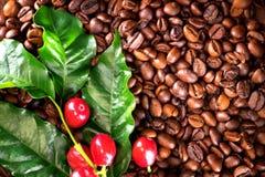 Café Planta real del café en fondo asado de los granos de café Foto de archivo libre de regalías