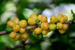 Café típico amarillo en árbol Foto de archivo