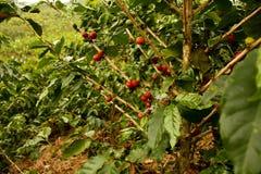 Café. Valles andinos en Colombia fotografía de archivo libre de regalías