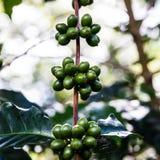 Café verde en el árbol Imágenes de archivo libres de regalías