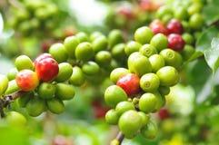 Café verde na planta Fotografia de Stock
