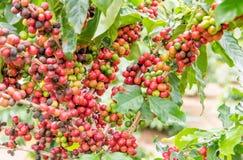 Caféier de grain de café et photo stock