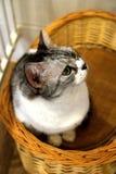 Cafékatzen - Miezekatze, die in der Neugier anstarrt lizenzfreie stockfotos