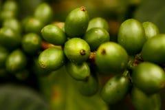 Café vert. La Colombie Photos libres de droits
