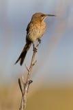cafer海角promerops sugarbird 库存图片