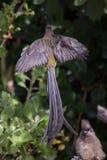 Cafer de Promerops del sugarbird del cabo Imagen de archivo