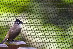 Cafer de Pycnonotus Imágenes de archivo libres de regalías