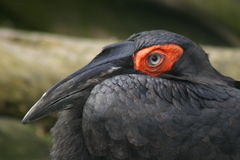 Cafer or Southern Ground Hornbil. L Portrait Stock Photography