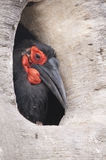 Cafer or Southern Ground Hornbill Stock Image