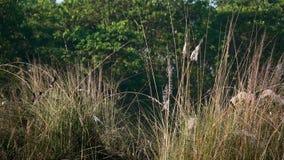 Cafer Vermelho-exalado de Pycnonotus de muitos pássaros do Bulbul na natureza vídeos de arquivo