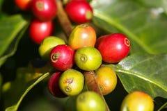 Cafeto con las bayas maduras en granja Imagenes de archivo