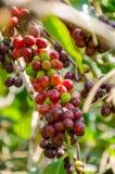 Cafeto con las bayas maduras en granja fotografía de archivo libre de regalías