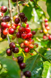 Cafeto con las bayas maduras en granja foto de archivo
