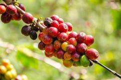 Cafeto con las bayas maduras en granja fotos de archivo libres de regalías