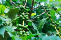 Cafeto con los granos de café verdes en la ramificación Foto de archivo libre de regalías