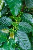 Cafeto con los granos de caf? verdes Imagenes de archivo