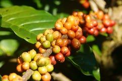Cafeto de Vietnam, grano de café fotos de archivo