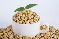 Cafeto del brote con los granos de café foto de archivo