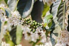 Cafeto, flor del café imagen de archivo libre de regalías