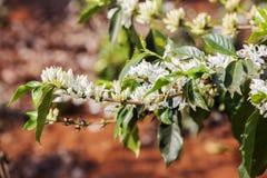 Cafeto, flor del café fotografía de archivo