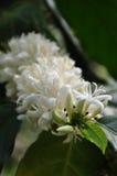 Cafeto floreciente Fotos de archivo