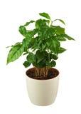 Cafeto (planta del Arabica) en la maceta aislada en la parte posterior del blanco imagen de archivo