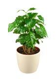 Cafeto (planta del Arabica) en la maceta aislada en la parte posterior del blanco foto de archivo