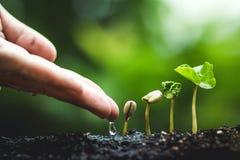 Cafeto que crece de establecimiento de las semillas en la estación de lluvias de la naturaleza fotos de archivo