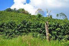 Cafetos verdes enormes de las plantaciones en las montañas de Honduras America Central Imagen de archivo