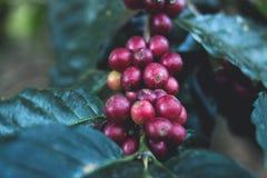 Caffè Arabica di buona qualità sull'alta montagna In Sud-est asiatico Tailandia Immagine Stock Libera da Diritti