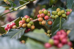 Caffè crudo del primo piano sull'albero nel giardino di agricoltura Immagine Stock Libera da Diritti