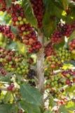 Caffè del primo piano sull'albero nel giardino di agricoltura Fotografia Stock Libera da Diritti