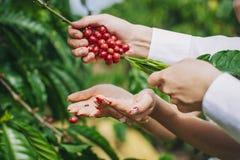 Caffè del raccolto Immagine Stock