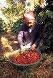 CAFFÈ DI AMERICA LATINA GUATEMALA Fotografie Stock Libere da Diritti