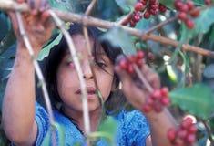 CAFFÈ DI AMERICA LATINA GUATEMALA Fotografia Stock Libera da Diritti