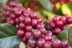 Caffè fresco del primo piano sull'albero nel giardino di agricoltura Immagini Stock Libere da Diritti