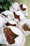 Caffè verde pieno dello scomparto in Costa Rica Immagini Stock Libere da Diritti