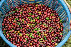 Caffè verde pieno dello scomparto in Costa Rica Fotografia Stock Libera da Diritti