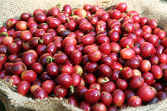 Caffè del fagiolo della ciliegia Fotografia Stock Libera da Diritti