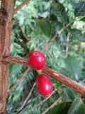 Caffè di Kona del caffè di Bean Ripe Cherry Coffee Hawaiian del caffè Fotografia Stock Libera da Diritti