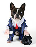Caffeine. A boston terrier dressed in a business suit Royalty Free Stock Photos