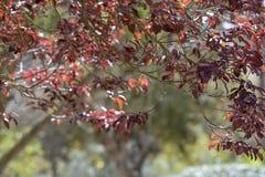 Caffra de Erythrina da árvore coral da costa fotos de stock royalty free