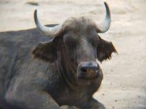 cafre буйвола отдыхая в зоопарке Стоковые Изображения