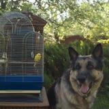 Cage à oiseaux avec une perruche Images stock