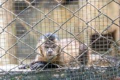 cage apan Fotografering för Bildbyråer