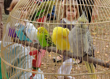 Cage with colorful parrots Stock Photography