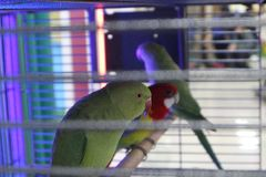 A cage with colorful parrots that sit on a perch. A cage with three colorful green and red parrots that sit on a perch stock images