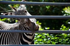 Cage de fer de rongement de zèbre Photo libre de droits