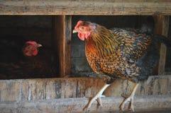 Cage de poulet photos libres de droits