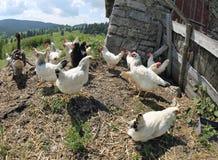 Cage de poulet de la ferme avec beaucoup de poulets et de poules photos stock